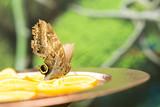 Caligo Memnon butterfly on green nature background