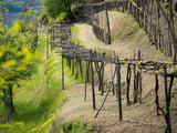 Vineyard in spring, Italy.