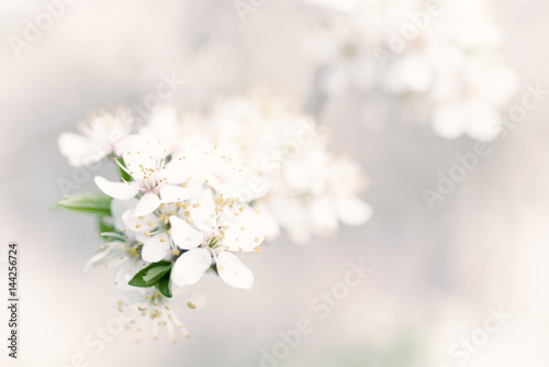 Abstract spring seasonal background with white flowers, natural easter floral image with copy space © Roxana
