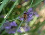 Une abeille sur fleur de lavande.