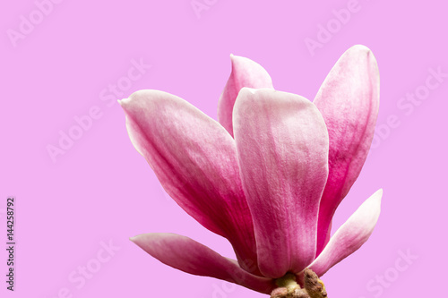 Fotobehang Purper colorful of pink magnolia and sunlight,isolated on white