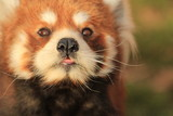 Red panda closed up
