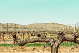 Vineyard in spring, selective focus, place for text, toned image
