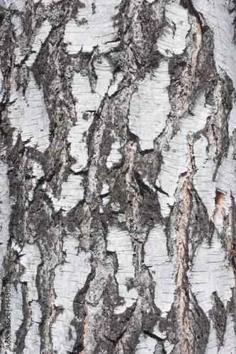 birch background - 144308362