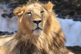 The Asiatic lion (Panthera leo persica), also known as the Indian lion and Persian lion, is a lion subspecies that lives as a single population in India's Gujarat State.