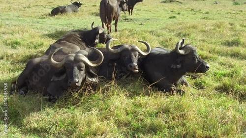 buffalo bulls gazing in savanna at africa