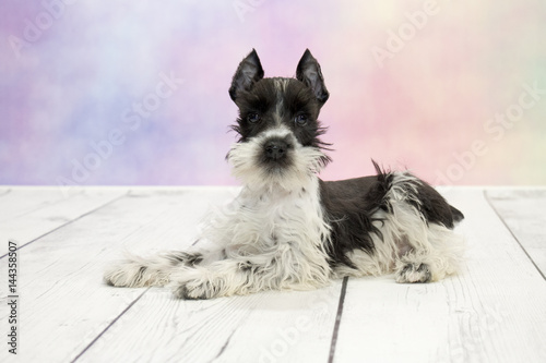 Poster Miniature Schnauzer with colorful springtime background
