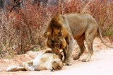Lions in Kruger National Park South Africa
