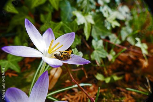Billede Biene auf Krokus beim Nektar sammeln 1
