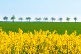 Wohltuende Frühlingsfarben: gelbe Rapsblüte und frisches Grün unter wolkenlos blauem Himmel; Brassica napus; Landwirtschaft; plakativ, Textfreiraum