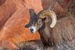 Bighorn Sheep-Ram Moving Ahead