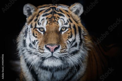 Aluminium Tijger Amur tiger