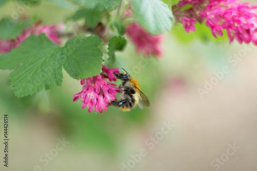 Billede Biene sammelt Blüte Nektar Pollen Honig