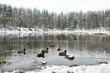 Winter snowy forest landscape. Ducks are swimming in the lake