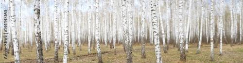 Plexiglas Berkenbos White birch grove in the spring. background