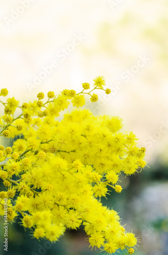 Mimose Poster