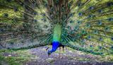 Paon bleu faisant la roue dans un parc