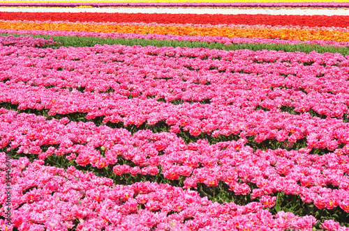 Fotobehang Candy roze Huge and beautiful tulip fields.