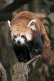 Red panda walks on tree branch