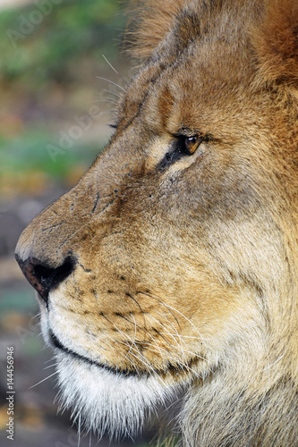 Close up side portrait of male African lion Poster