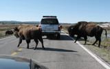 Buffalo yellowstone