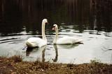 Swan couple.
