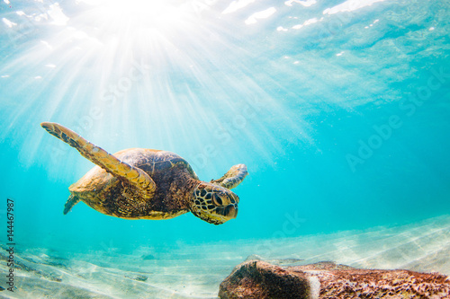 Poster Endangered Hawaiian Green Sea Turtle Cruising in the warm waters of the Pacific