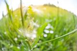 fish-eye view of dandelion on summer meadow