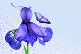 Blue iris and butterfly