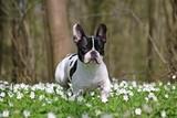 französische bulldoge im wald