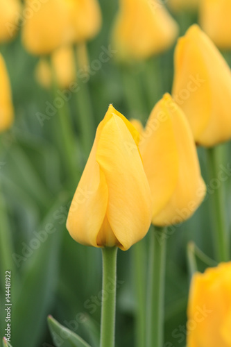 Close up of a yellow tulip.