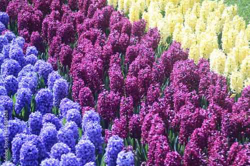 Filed of blue, purple and white hyacinths
