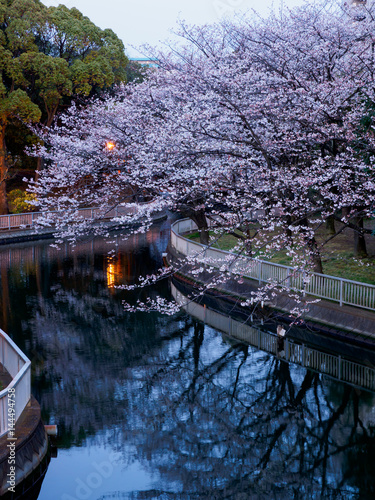 Cherry blossoms night view in Japan
