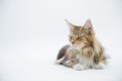 A maine coon cat sitting on floor and looking something
