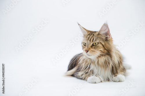 Poster A maine coon cat sitting on floor and looking something