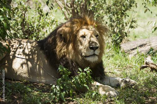 leone a riposo Poster