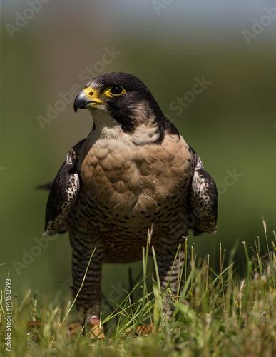 Poster Peregrine Falcon