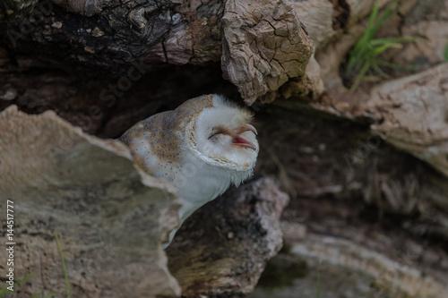 Stampa su Tela Barn Owl in a log