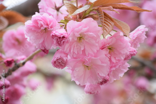 Aluminium Candy roze Spring. The clear blue sky. In Germany, bloomed pale pink, Japanese beauty beautiful Sakura. The trees share a beautiful pink dress, and the earth strewn with rose petals as a carpet.
