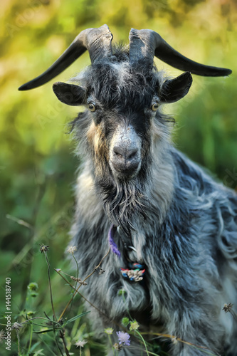 Gray goat with big horns in the grass. Poster