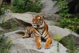 Tiger/Wildkatze