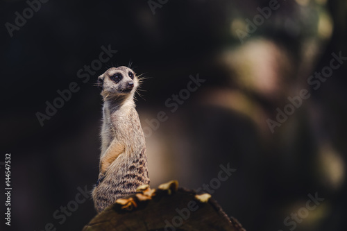 Poster One meerkat standing over a tree trunk
