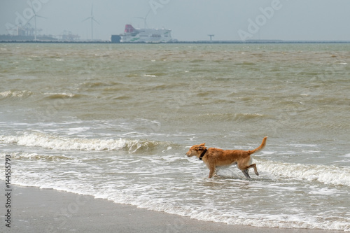 Brown dog pees in sea
