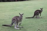 Meeting with the kangaroo