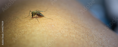 Close-up of mosquito sucking blood from human arm. - 144579509