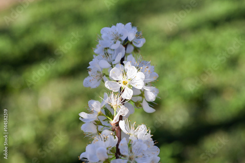 Poster Close up white plum flower