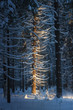 Dense coniferous forest covered with snow and warm sunlight in the background