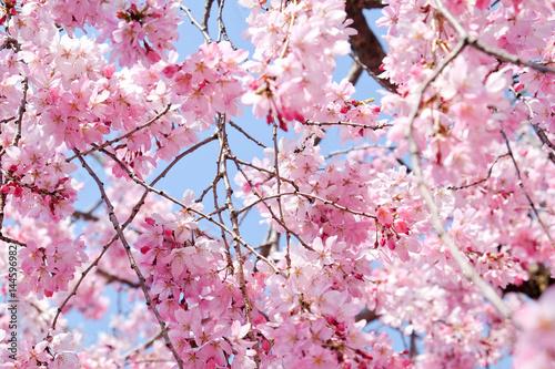 Cherry blossom season, Tokyo Japan Poster