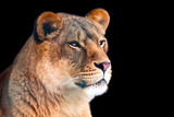 Closeup of lioness isolated on black background