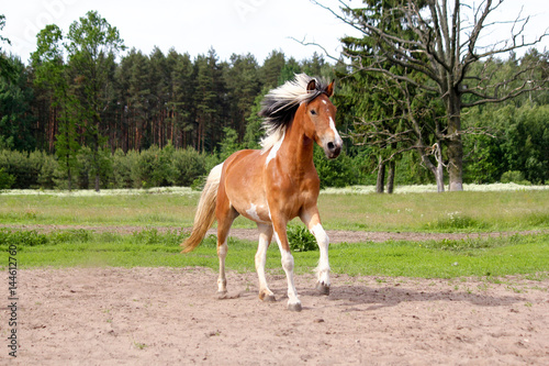Skewbald horse galloping free at the pasture Poster